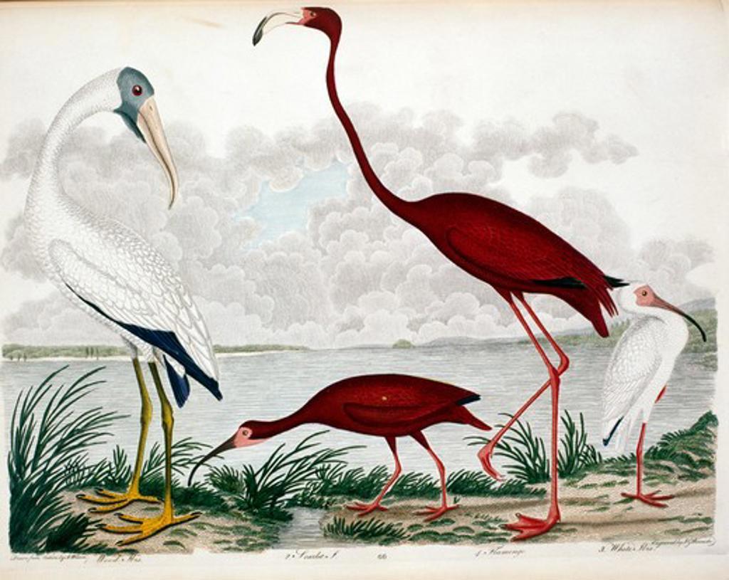 Stock Photo: 1010-15348 Wood Ibis, Scarlet Ibis, Flamingo and White Ibis, by A.Wilson, Print