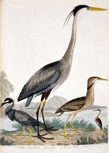 Stock Photo: 1010-15351 Yellow Crowned Heron, Great Heron, American Bittern and Least Bittern, by A. Wilson, Print