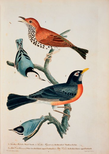 Stock Photo: 1010-15356 Thrush, Robin & Nuthatch 
