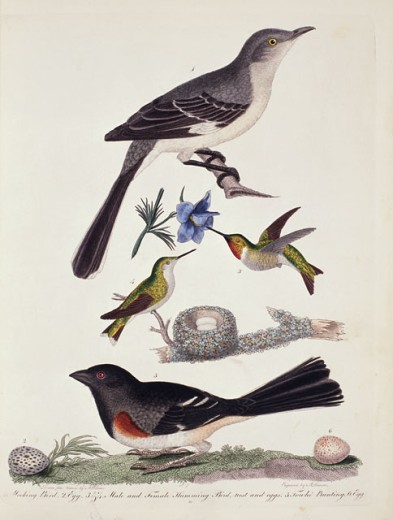 Mockingbird, Hummingbird, Nest & Eggs