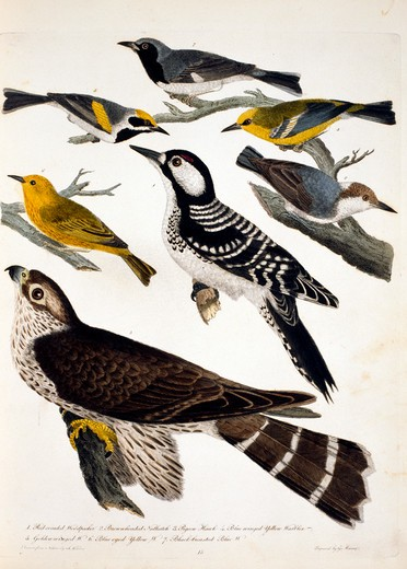 Woodpeckers, Nuthatch and Hawk, by A. Wilson, Print : Stock Photo