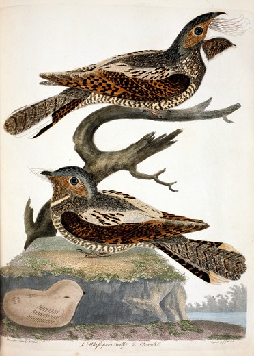 Whippoorwill, by A. Wilson, Print : Stock Photo