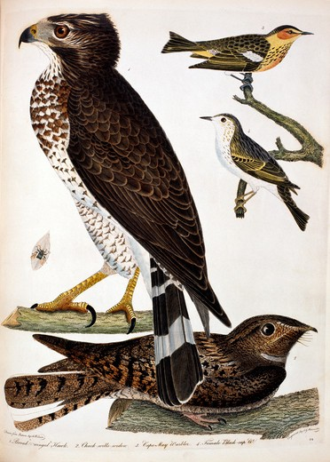 Stock Photo: 1010-15363 Hawk and Warbler, by A. Wilson, Print