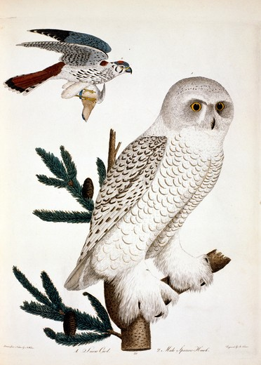 Snow Owl and Hawk, by A. Wilson, Print : Stock Photo