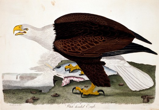 White-Headed Eagle, by A. Wilson, Print : Stock Photo