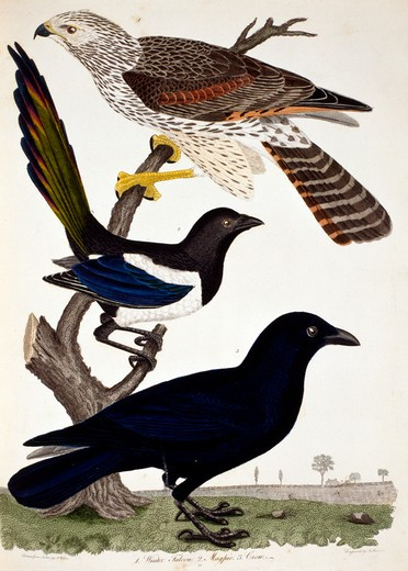Falcon, Magpie and Crow, by A. Wilson, Print : Stock Photo