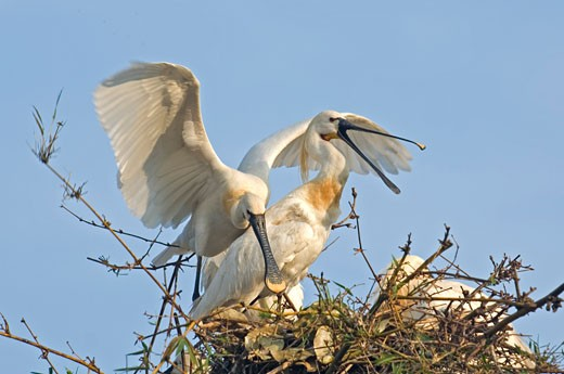 Low angle view of three Spoonbills on a nest : Stock Photo