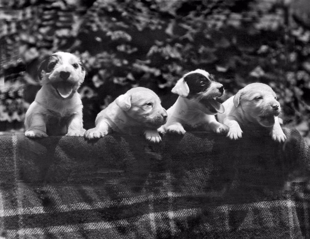 Los Angeles, Caifornia:  June, 1933. These four Sealyham puppies are all cousins of Michael in 'Peg o' My Heart', starring Marion Davies, who will award them as prizes to the winner of the Evening Herald and Express newspaper contest, 'Why I Love A Dog'. : Stock Photo