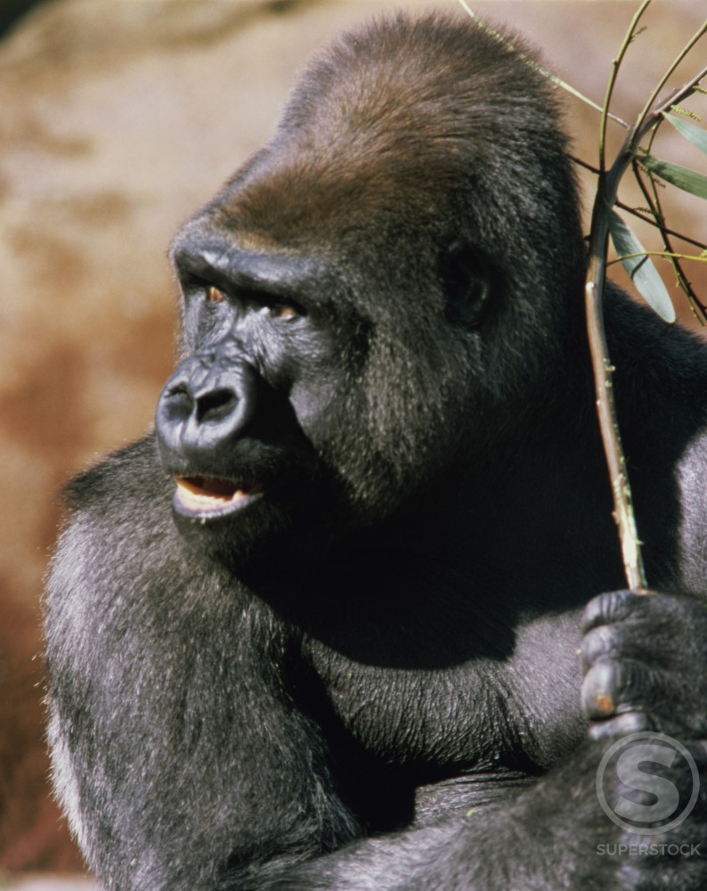 Stock Photo: 104-2307 Gorillas