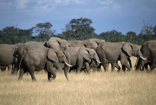 Herd of African elephants (Loxodonta africana) walking in a forest, Amboseli National Park, Kenya : Stock Photo
