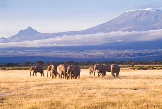 Herd of African elephants (Loxodonta africana) in a field, Amboseli National Park, Kenya : Stock Photo