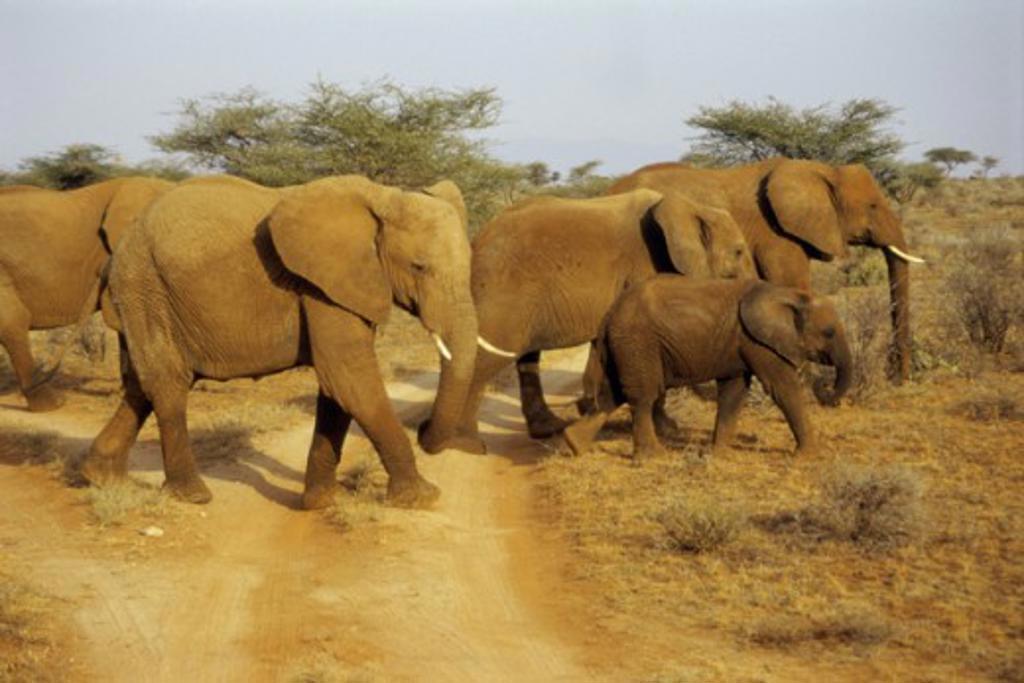 Elephants Samburu Game Reserve Kenya : Stock Photo