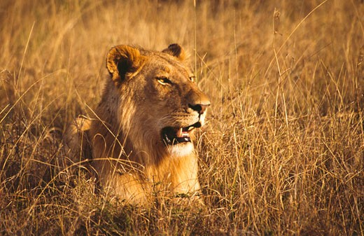 Stock Photo: 105-2994 Lion (Panthera leo) sitting in a field