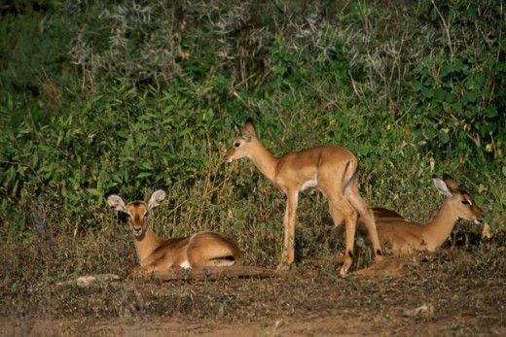 Stock Photo: 105-3399 Impalas Samburu Game Reserve Kenya