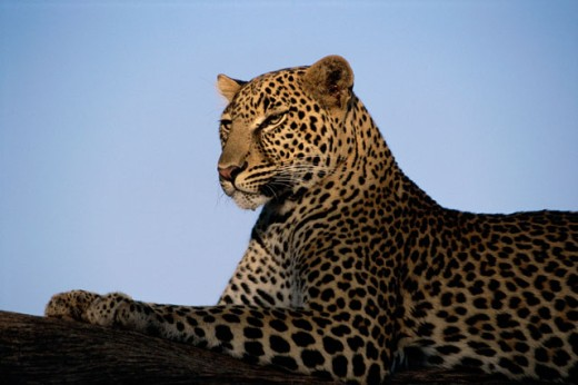 Stock Photo: 105-3428 Leopard