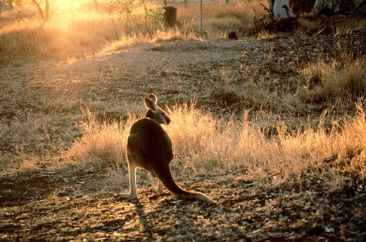 Stock Photo: 105-345 Red Kangaroo