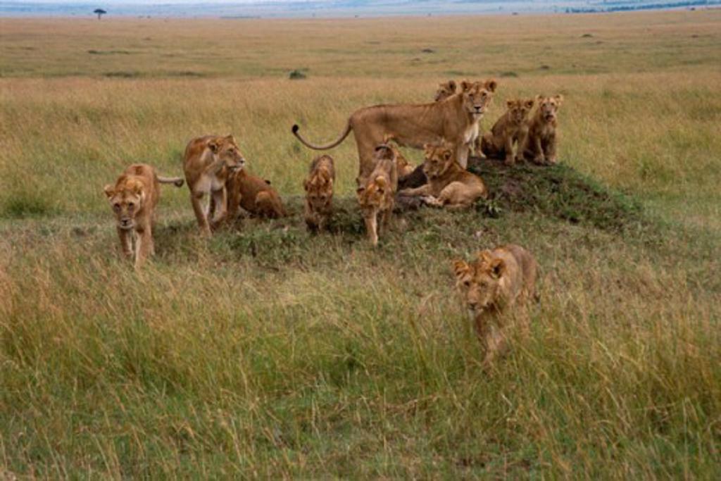 Lions Masai Mara Game Reserve Kenya : Stock Photo
