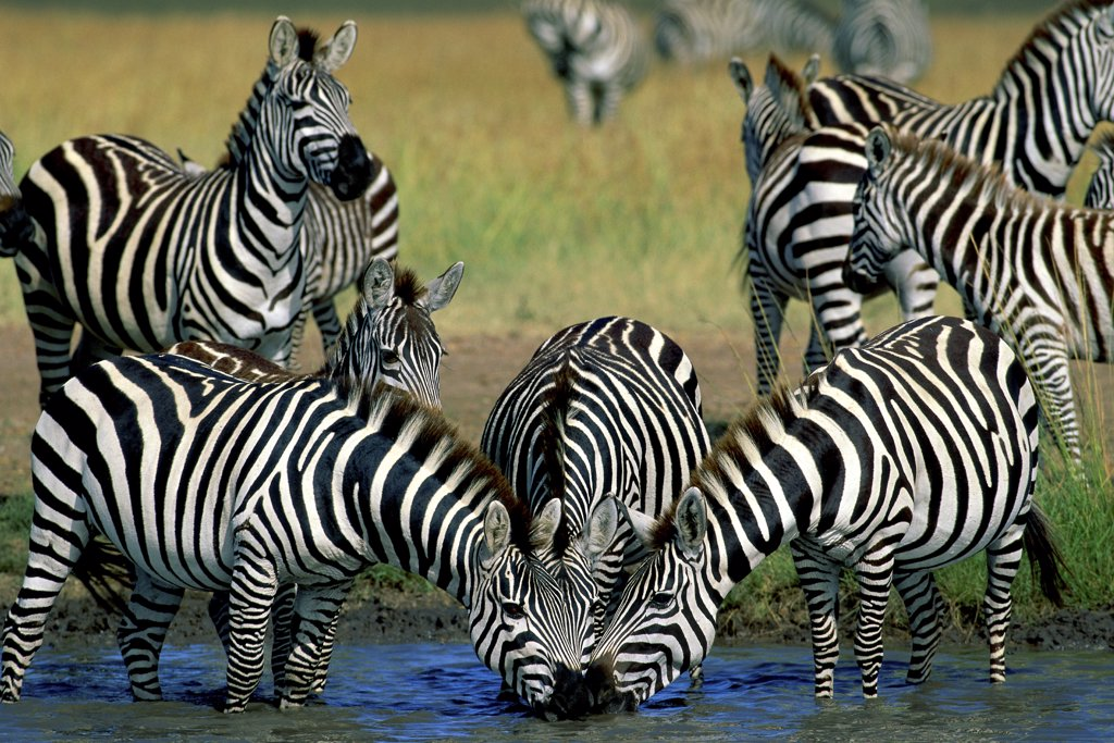 Stock Photo: 1064-108 Zebras