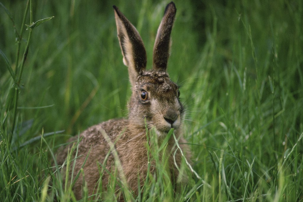 Stock Photo: 1064-110 Brown Hare