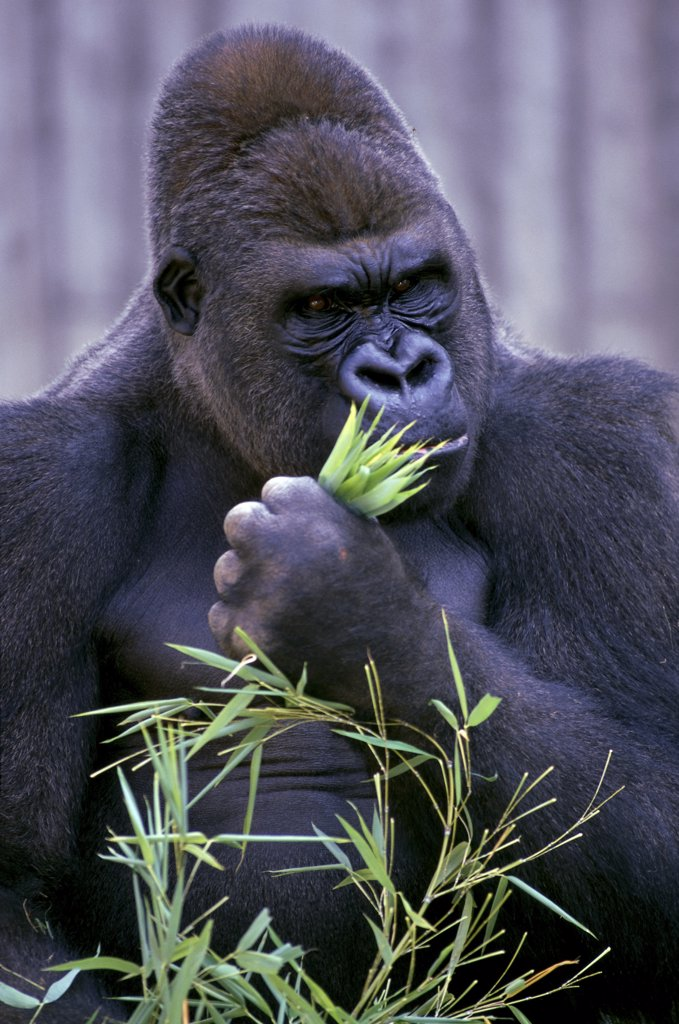 Stock Photo: 1064-115 Lowland Gorilla