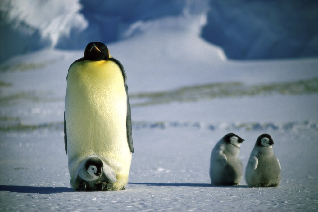 Stock Photo: 1064-150 Emperor Penguin with Chicks