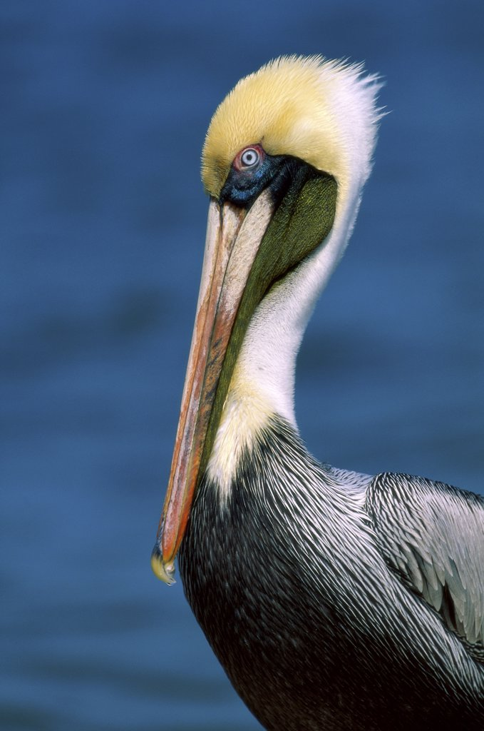 Stock Photo: 1064-171 Brown Pelican