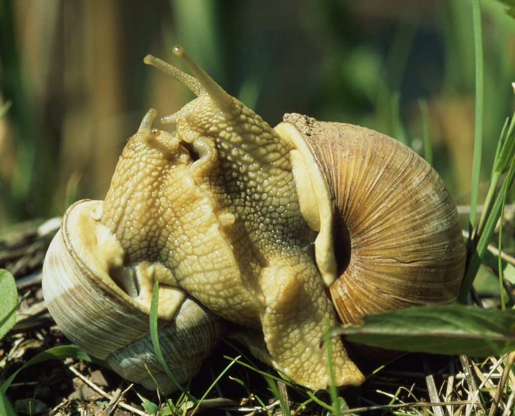 Close-up of two snails on grass : Stock Photo