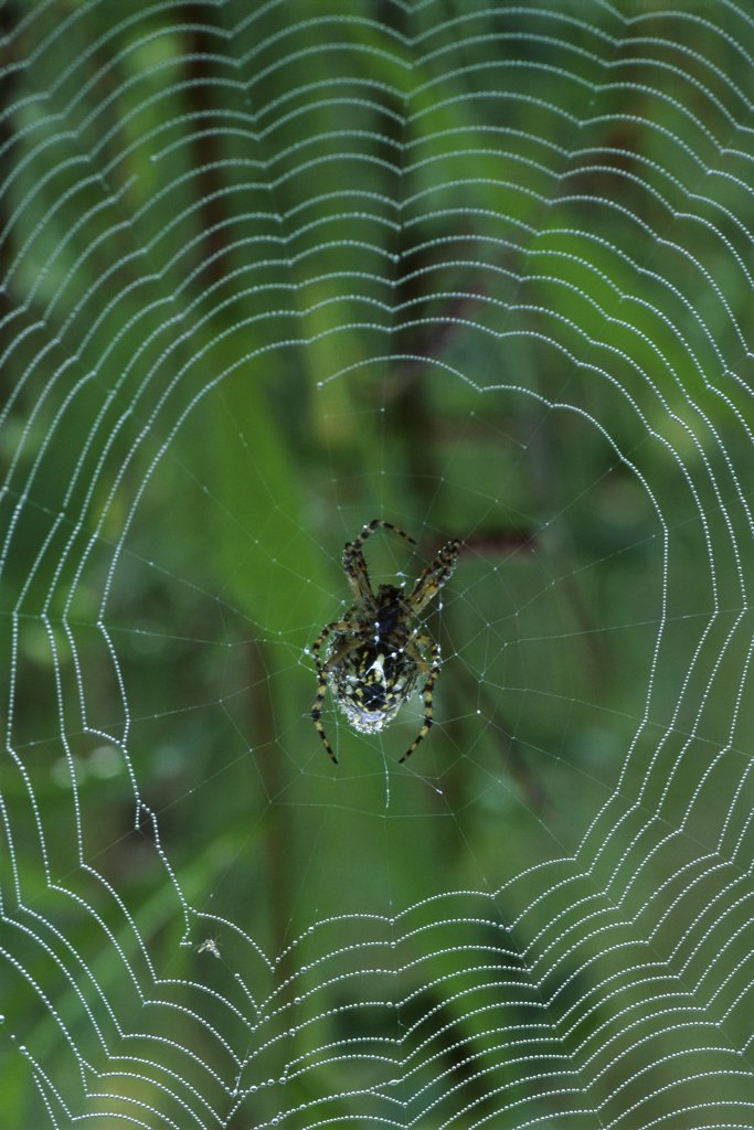 Stock Photo: 1064-188 Garden Spider