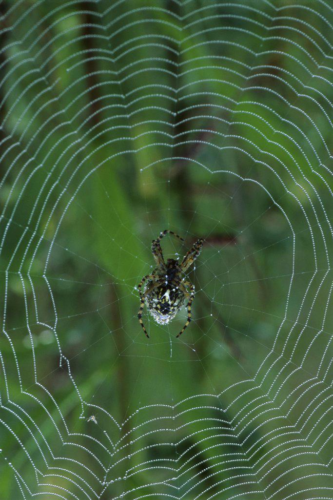 Garden Spider : Stock Photo