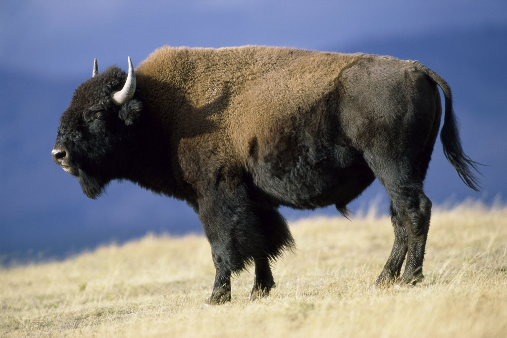Stock Photo: 1064-201 Bison