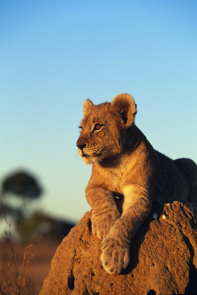 Stock Photo: 1064-208 Close up of lion resting on rock at sunset