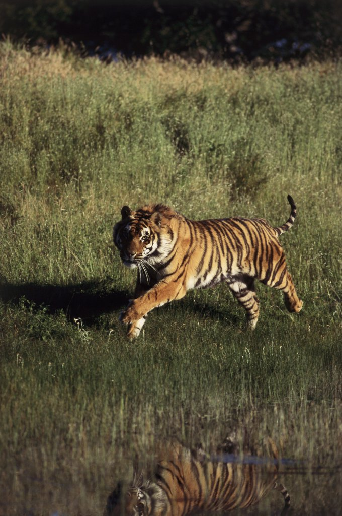 Stock Photo: 1064-211 Bengal Tiger running in a field (Panthera tigris tigris)