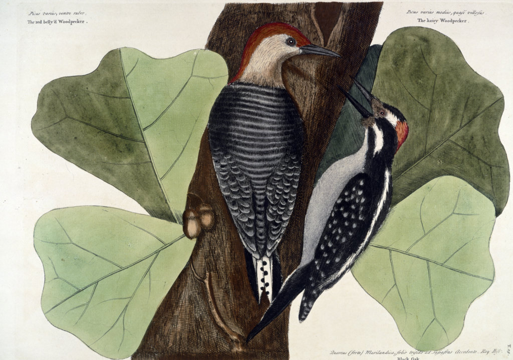 The Red Bellied Woodpecker and The Hairy Woodpecker on Black Oak by Pierre Joseph Redoute,  (1759-1840),  USA,  Chicago,  Newberry Library : Stock Photo