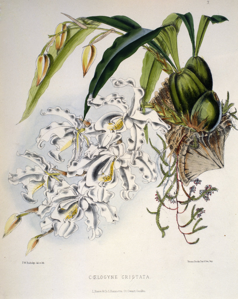 Stock Photo: 1095-235 Coelogyne Cristata by Samuel Jennings from Orchids: And How to Grow Them,  (active 1789-1834 ),  USA,  Chicago,  Newberry Library