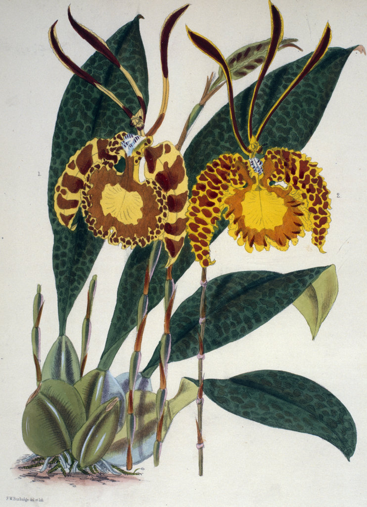 Oncidium Papilio Pictum by Samuel Jennings from Orchids: And How to Grow Them,  (active 1789-1834 ),  USA,  Chicago,  Newberry Library : Stock Photo