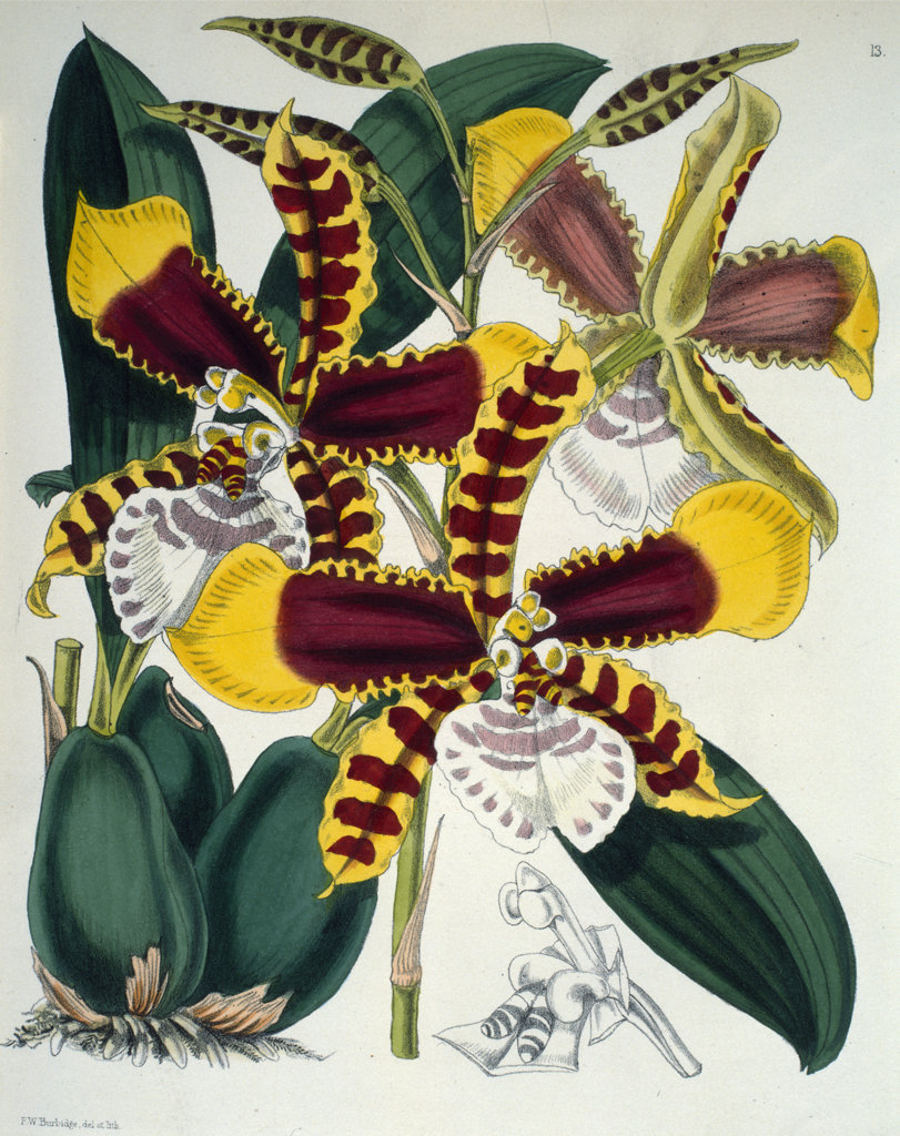 Stock Photo: 1095-238 Odontoglossum Grande by Samuel Jennings from Orchids: And How to Grow Them,  (active 1789-1834 ),  USA,  Chicago,  Newberry Library