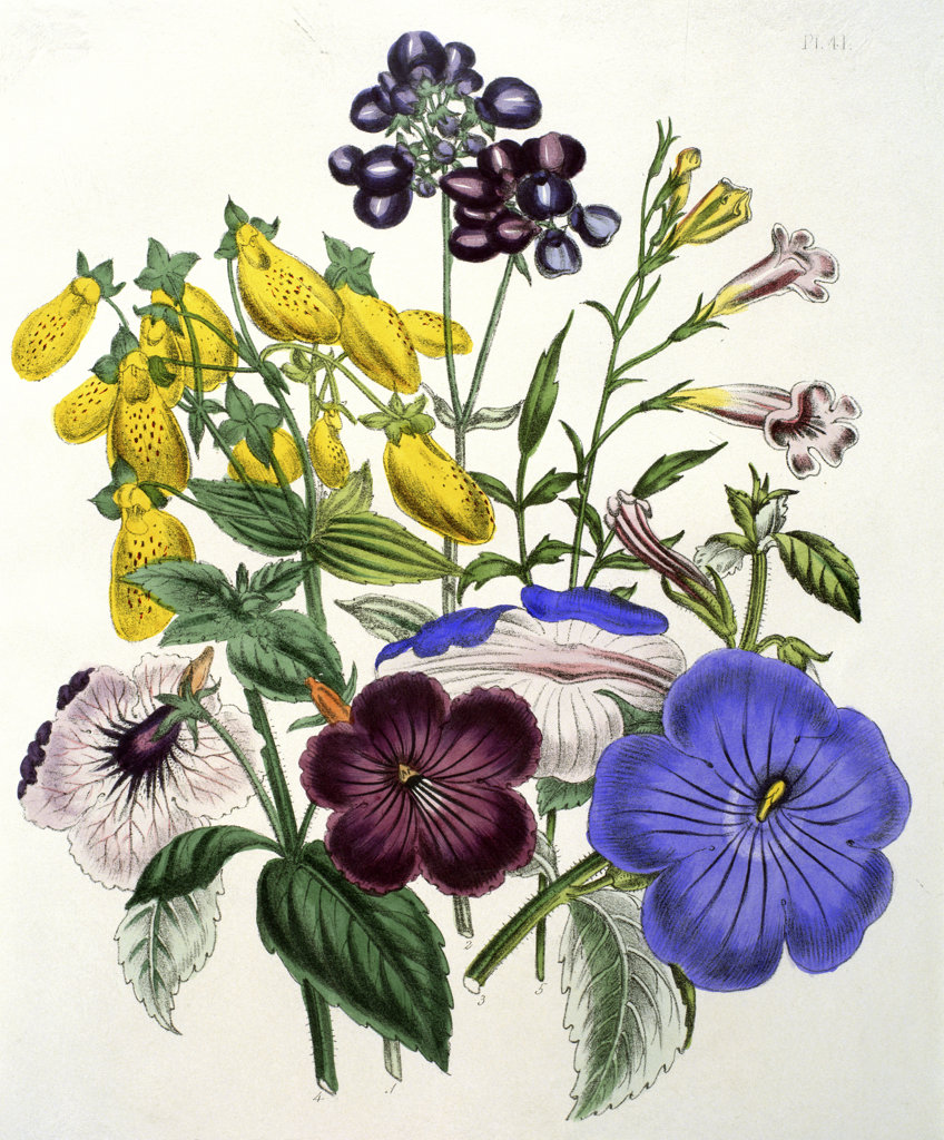 Stock Photo: 1095-297 Mixed Calceolaria and Archimenus  from The Ladies' Flower-Garden of Ornamental Greenhouse 