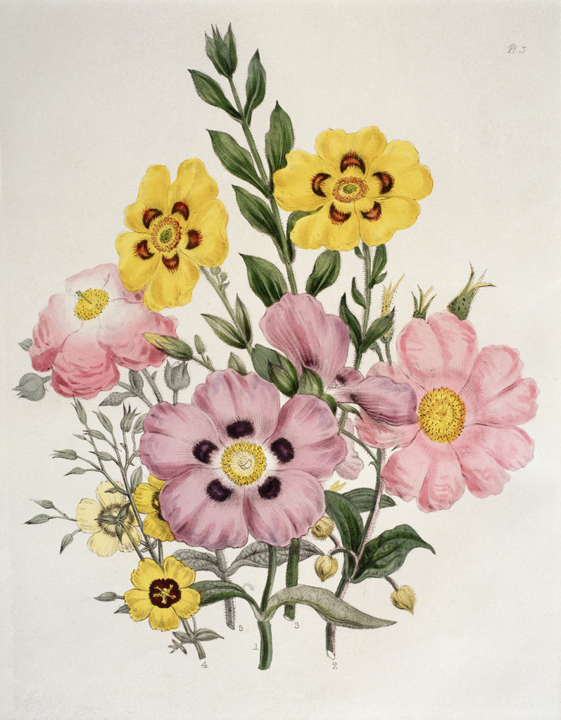 "Yellow And Pink Mixed Flowers. Cistus. From ""The Ladies' Flower-Garden Of Ornamental Greenhouse...