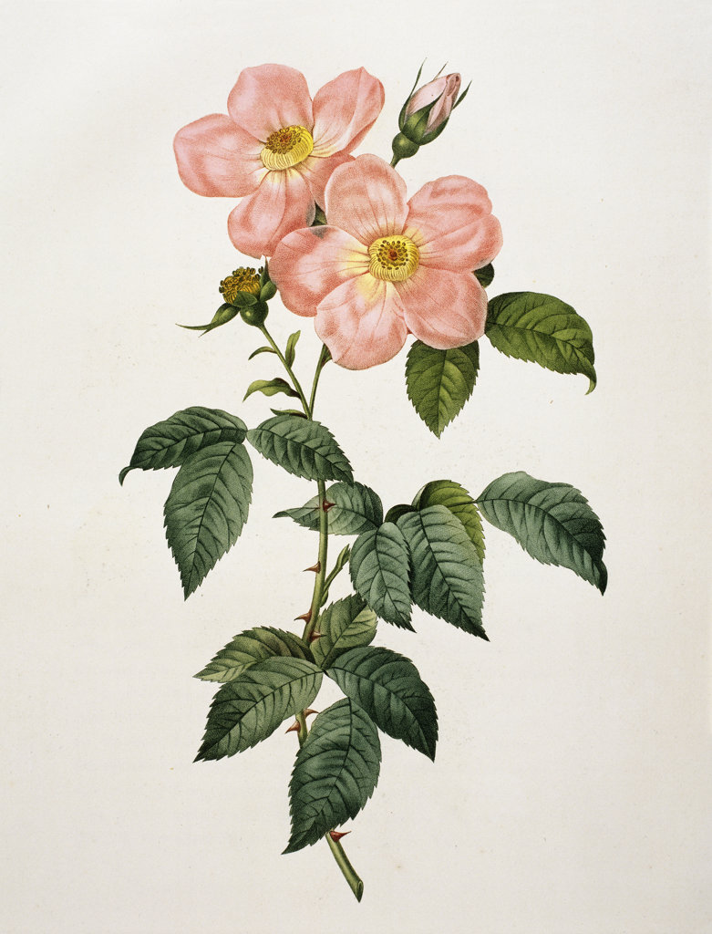 "Stock Photo: 1095-316 Rosa Indica Frangras (Flora Simplici) From ""Les Rosas""