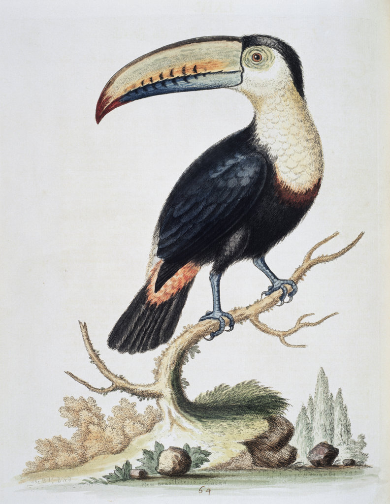 Le Toucan 1751 George Edwards (ca.1694-ca.1773 British) Newberry Library, Chicago, Illinois, USA : Stock Photo