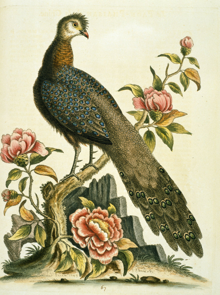 Peacock Pheasant by George Edwards,  (ca. 1694- ca.1773),  Chicago,  Newberry Library : Stock Photo