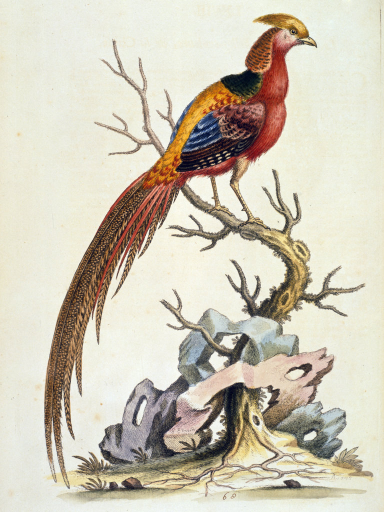 Colored Chinese Pheasant by George Edwards,  (ca. 1694- ca.1773),  Chicago,  Newberry Library : Stock Photo