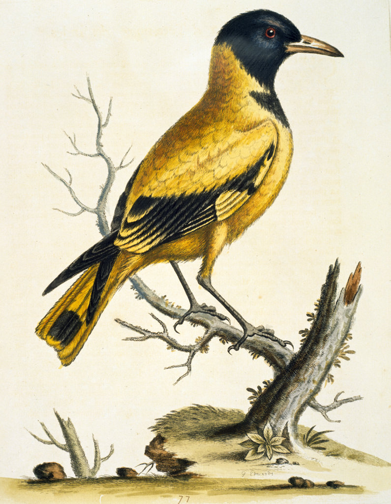 Black- Headed Oriole of the Indies by George Edwards,  (ca. 1694- ca.1773),  Chicago,  Newberry Library : Stock Photo