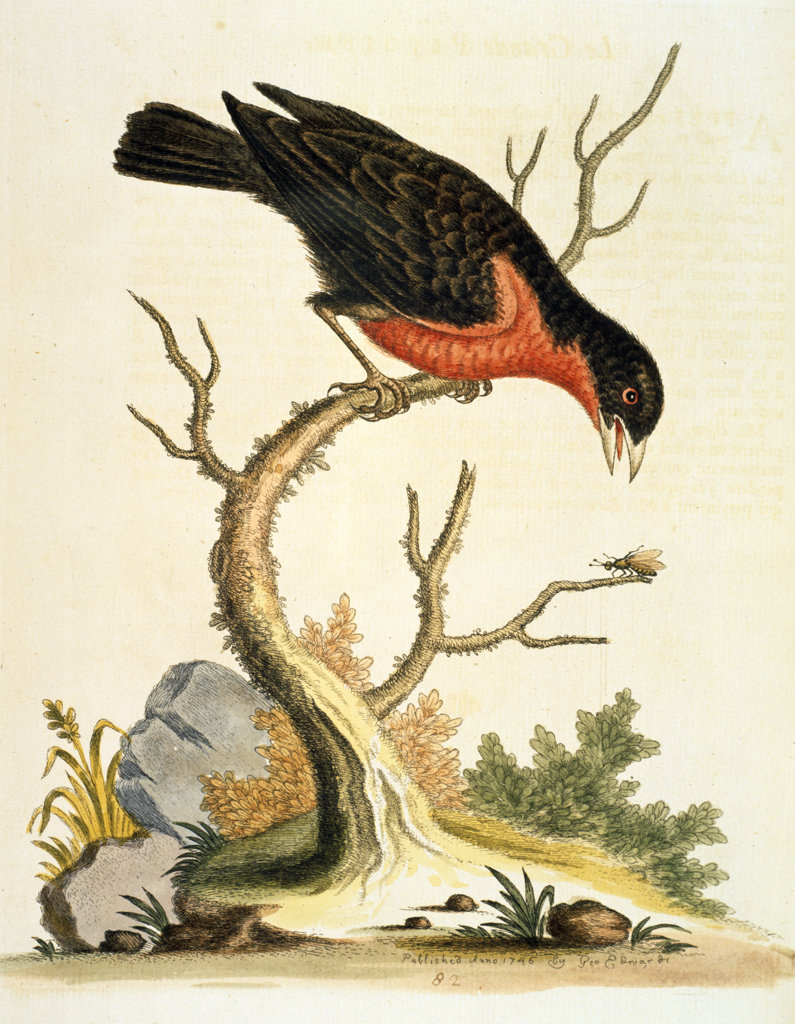 Stock Photo: 1095-476 Bullfinch,  Le Grande Pivione by George Edwards,  (ca. 1694- ca.1773),  Chicago,  Newberry Library