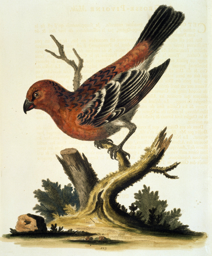 Bullfinch by George Edwards,  (ca. 1694- ca.1773),  Chicago,  Newberry Library : Stock Photo