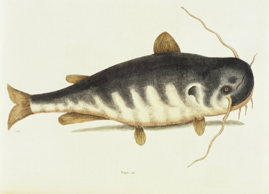 Stock Photo: 1095-504 Catfish
