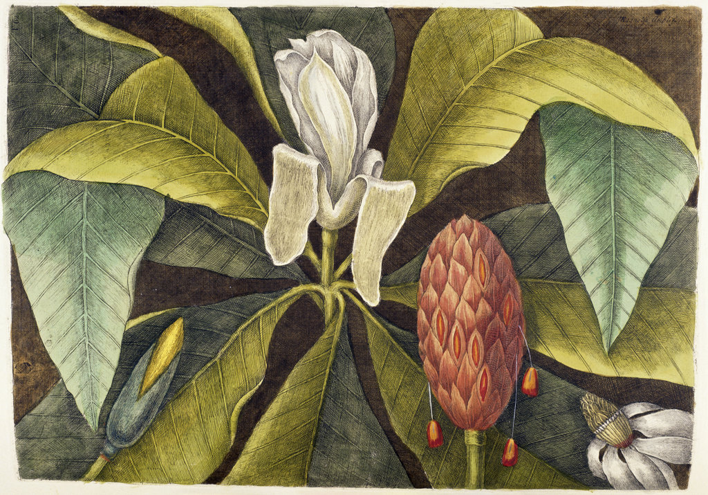Stock Photo: 1095-512 Magnolia 