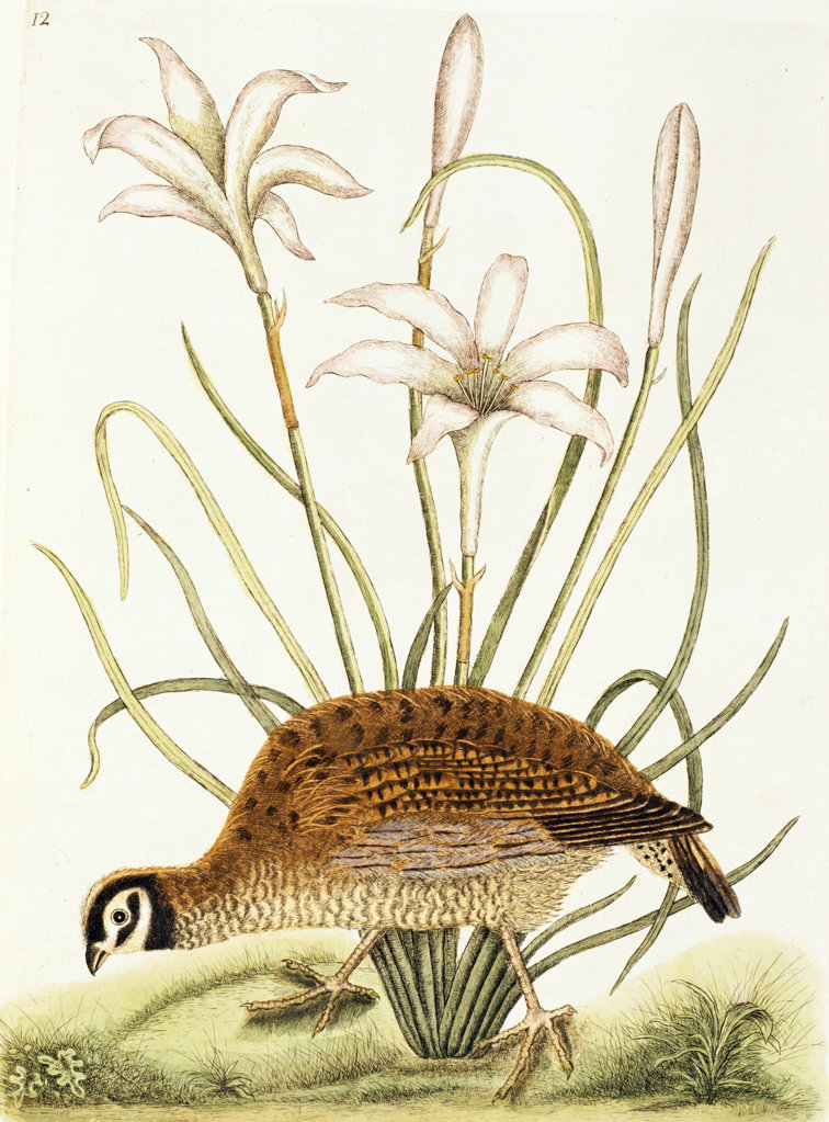 Stock Photo: 1095-514 American Partridge,  illustration from Natural History of Carolina,  Florida,  & Bahamas by Mark Catesby,  (1679-1749),  Chicago,  Newberry Library