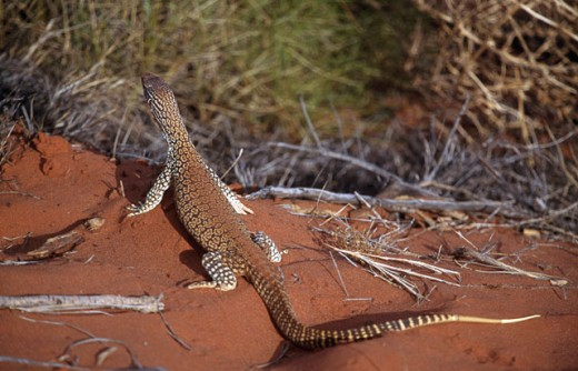 Stock Photo: 1096-1117B High angle view of a goanna, Australia