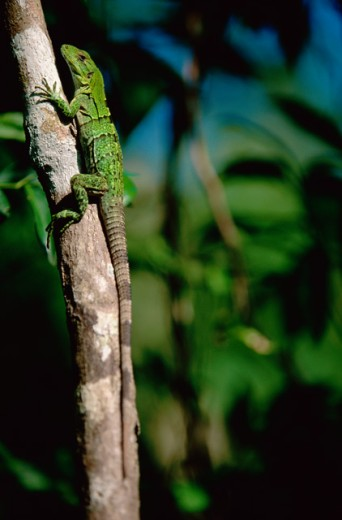 Close-up of an iguana on a tree branch : Stock Photo